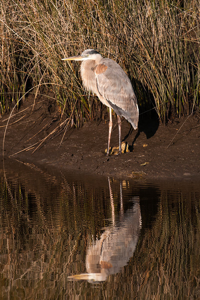 Heron - Great Blue - St. Marks NWR - FL
