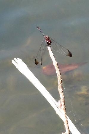 Swift Setwing (Dythemis velox)