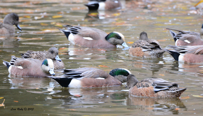 American Wigeons  - 12/28/13 - Woods Valley Campground; 2013 Escondido CBC