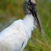 Wood Stork - Green Cay Wetlands - February 2013