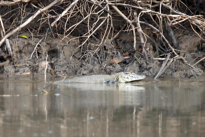 Spectacled Caiman at Rio Madre de Dios near Manu Wildlife Centre, Peru (2008-07-08).psd