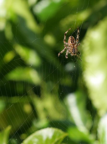 1647 Spider.jpg