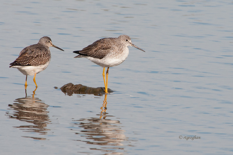 Nov 13_Greater Yellowlegs Mill Creek_8085.jpg
