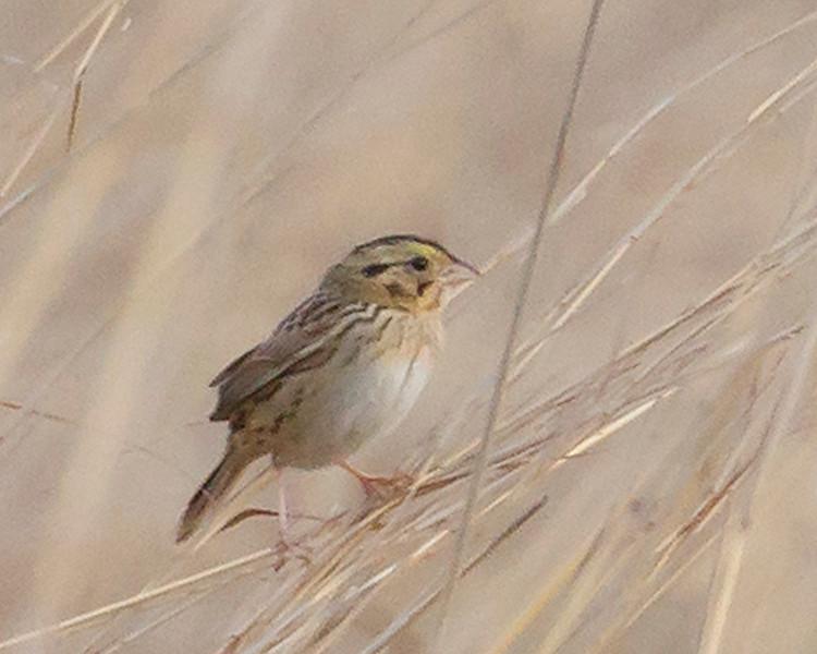hensleysparrow.jpg
