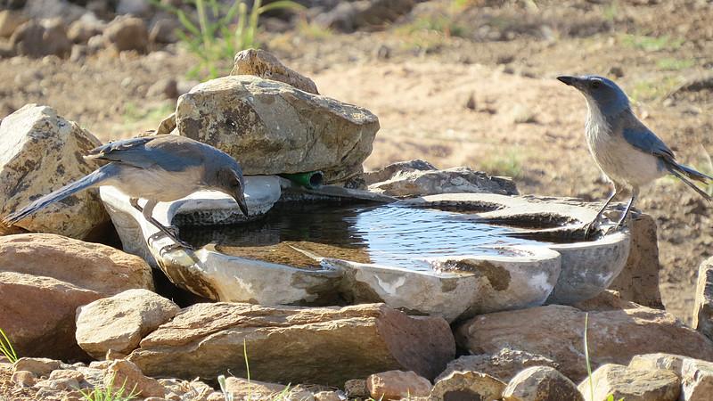 Jay male female birdbath3.jpg