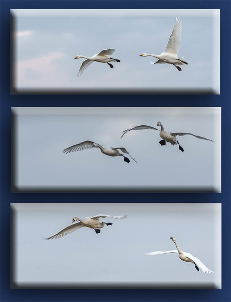 Ian Peters - Swans in flight.jpg