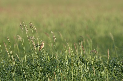 Sarakerttunen (Acrocephalus paludicola)
