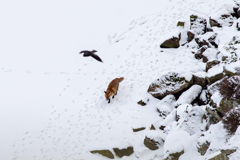 Fox on Crag Lough