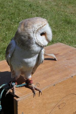 Roofvogels Schoorl 2012-07-15