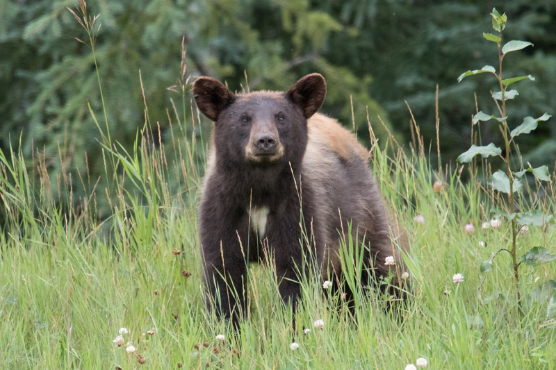 Black Bear Alcan Highway -3.jpg
