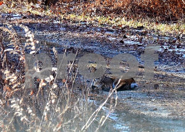 1/5/2016 Mike Orazzi | StaffA bobcat spotted near the Burlington Bristol town line.