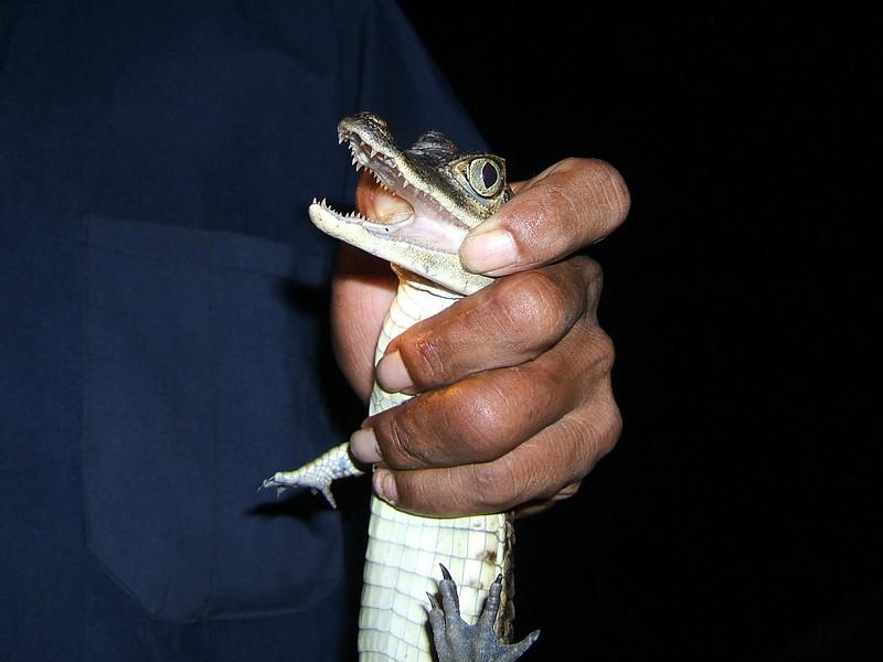 Day 2 - Manaus - Yes, alligators have teeth.