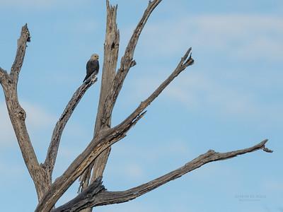 Dickinson's Kestrel (Falco dickinsoni)