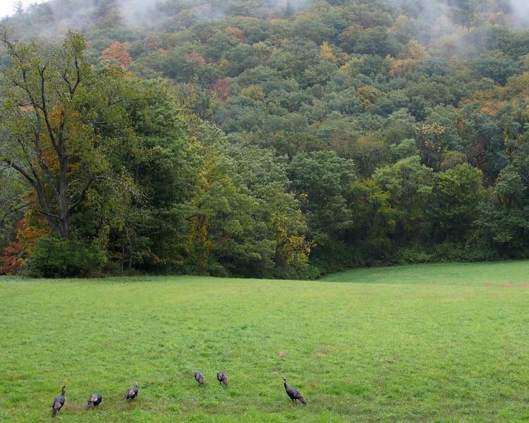 Mountain wild turkeys.jpg