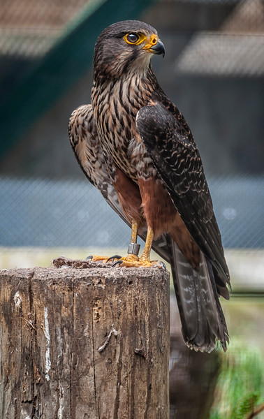 Kārearea New Zealand falcon