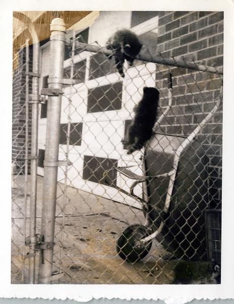 1968 raccoons.jpeg