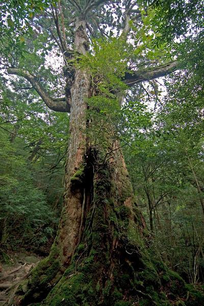 Moss covering a large tree in Shiratani Unsuikyo in Yakushima, Japan