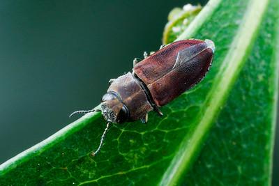 genus Anilara