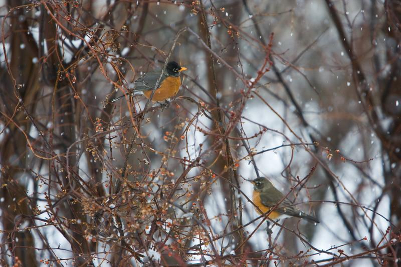 Robins that forgot the seasons.