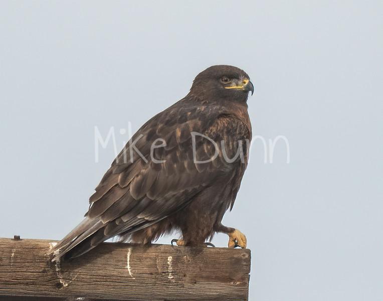 Ferruginous Hawk-198
