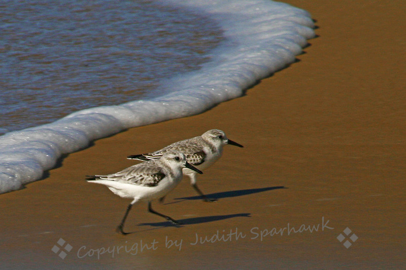 Sanderlings ~ There were several flocks of Sanderlings feeding at shoreline.  I love their behavior, skittering out of the way of the waves, moving as a group, on the fastest little legs ever.  This was just two of a flock that I captured with my camera.