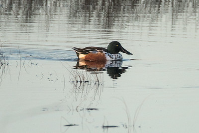 Birds - Northern Shoveler