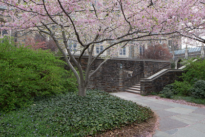 Cherry Trees by Duke Chapel, April 2014