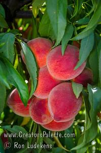 John Fanick Peach - Prunus persica sp.