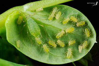 Aphid  Vectors of PVY