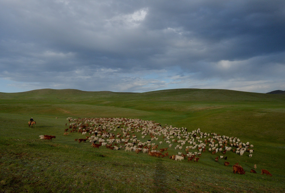 . A Mongolian herder with his flock of sheep, goats and cattle head towards grasslands on World Environment Day at the Hustai National Park in Mongolia on June 5, 2013.  The World Environment Day celebration began in 1972 by the United Nations and is used to raise worldwide awareness of the environment and encourage political attention and action.      MARK RALSTON/AFP/Getty Images