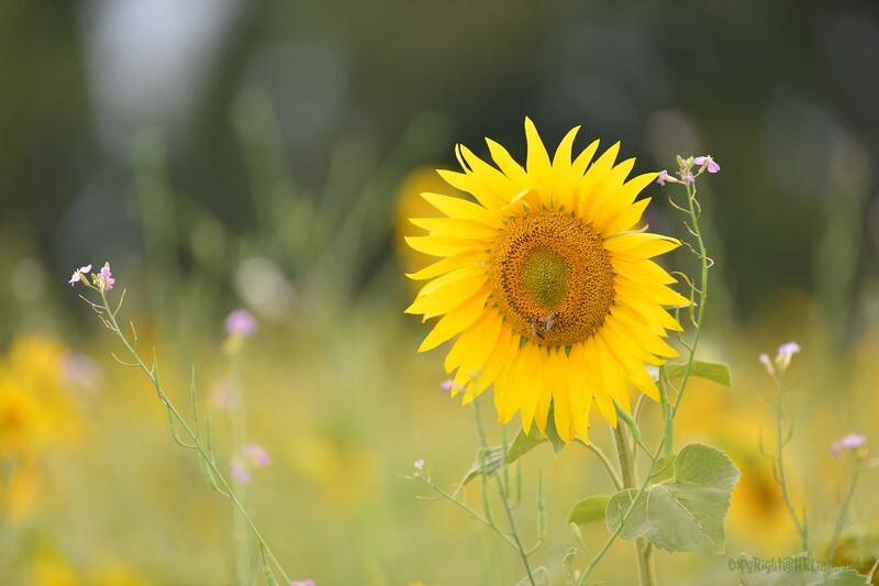 Sunflower Lonay_20092020 (37).JPG