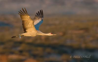 Bosque del Apache Birds