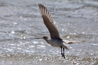 Eastern Bar-tailed Godwit
