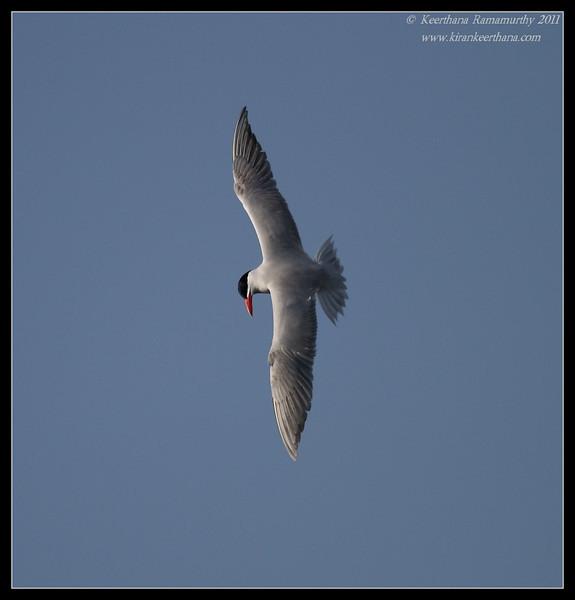 Caspian Tern, Robb Field, San Diego River, San Diego County, California, April 2011