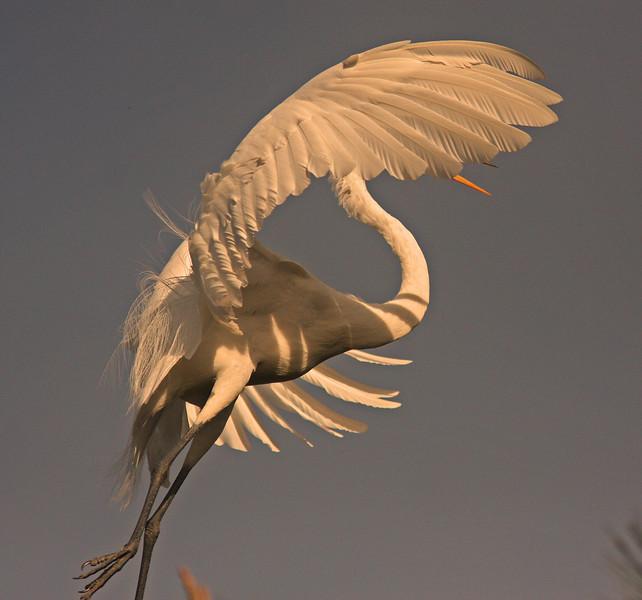 WB~Rookery egret landing just beak1280.jpg