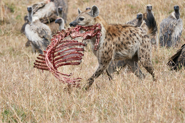 Hyena Mara Reserve 2018 Kenya
