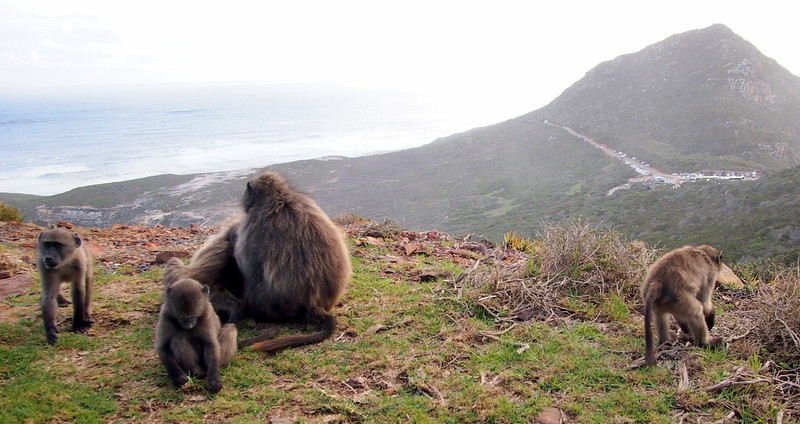 P5197335-baboons.JPG