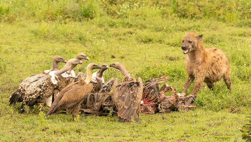 Vultures and Hyena on a kill