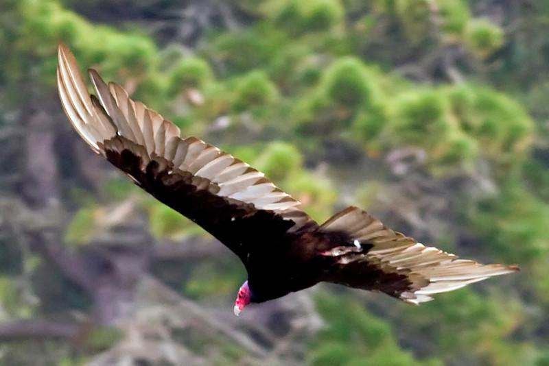 Turkey Vulture - California Coast.
