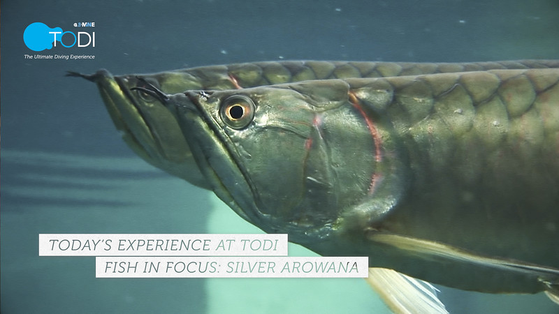 TODI TODAY: Fish in Focus - Silver Arowana