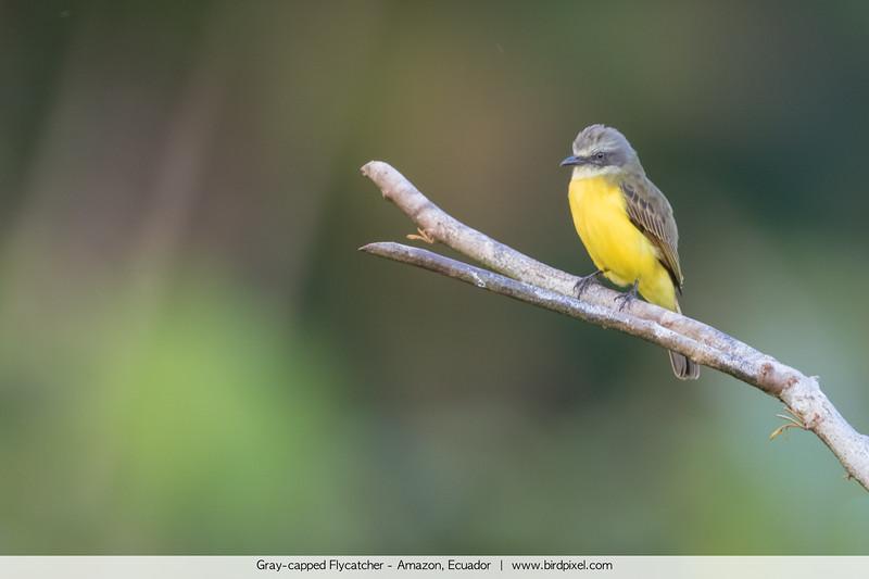 Gray-capped Flycatcher - Amazon, Ecuador