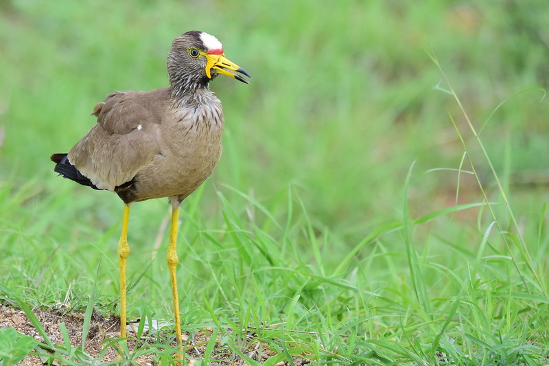 African Wattled Lapwing Closeup