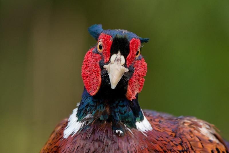 017_1861 Common Pheasant, Phasianus colchicus.jpg