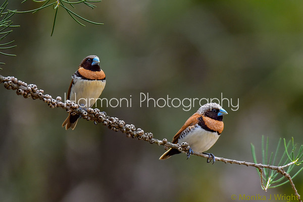 Harmoni Photography Chestnut Breasted Mannikins