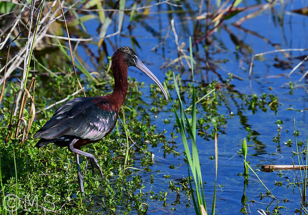 Glossy Ibis Image Gallery