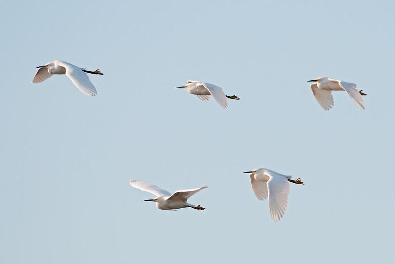 Egret - Snowy - flight - Apalachicola, FL