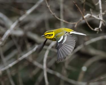 Townsend's Warbler (<em>Setophaga townsendi</em>)
