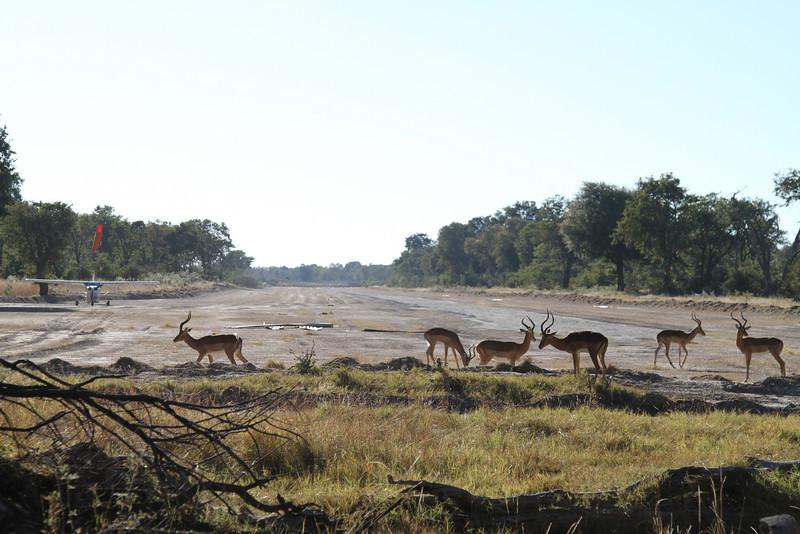 Impala on the runway