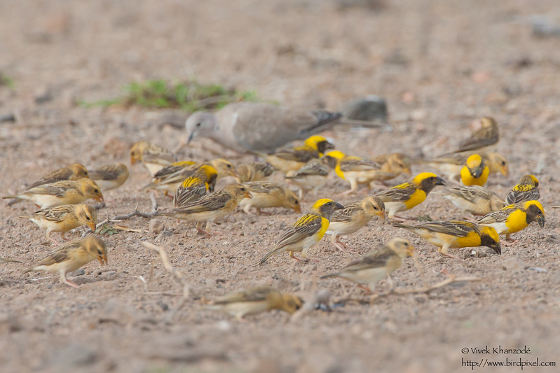 Baya Weavers feeding on the ground - Kutch, Gujrat, India