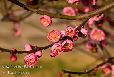 Double Pink Fruiting Japanese Apricot (Ume)